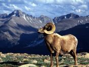 Big Horn Ram Rocky Mountain National Park Colorado 1600 x 1200