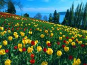 Field of Tulips Island of Mainau 1600 x 1200